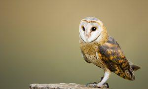 An owl (geddit?)