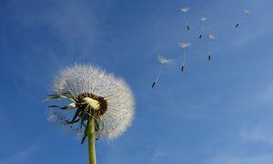 dandelion - word of the week