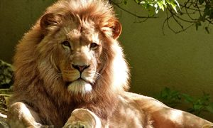 word of the week: lion